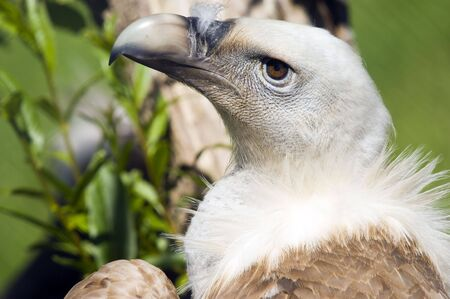 Close up of a European Black Vulture (Aegypius monachus) photo