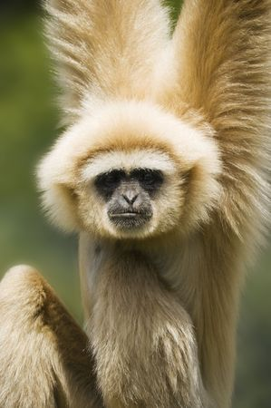 handed gibbon: Close up of a White Handed Gibbon (Hylobates lar)