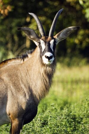 Close up of a Roan Antelope (Hippotragus equinus) photo