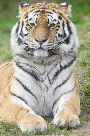 siberian tiger: Closeup of Siberian tiger (Panthera tigris altaica)