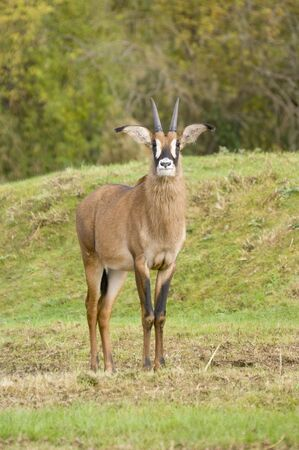 roan: Close up of a Roan Antelope (Hippotragus equinus) Stock Photo