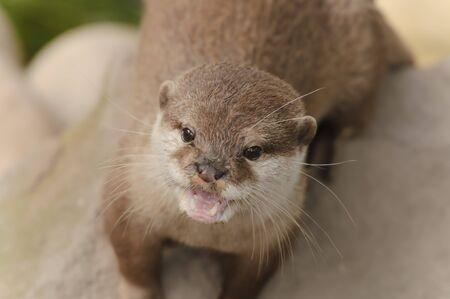 aonyx cinerea: Closeup of Asian short-clawed otter (Aonyx cinerea)