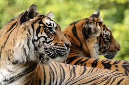 sumatran tiger: Closeup della tigre di Sumatra (Panthera tigris sumatrae)