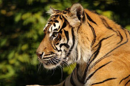 sumatran tiger: Closeup della tigre di Sumatra (Panthera tigris sumatrae) Archivio Fotografico