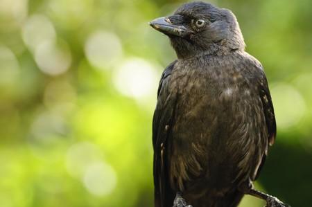 jackdaw: Close up of a Jackdaw (Corvus monedula) Stock Photo