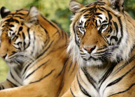 sumatran: Closeup of Sumatran Tiger (Panthera tigris sumatrae) Stock Photo