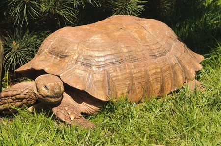 spurred: Close up of African Spurred Tortoise (Geochelone sulcata) Stock Photo