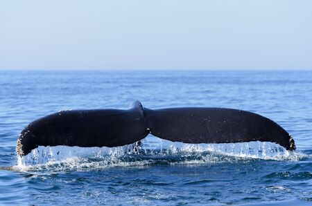 megaptera novaeangliae: Humpback whale (Megaptera novaeangliae)  in the Bay of Fundy Nova Scotia Canada