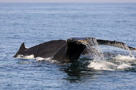 humpback whale: Humpback whale (Megaptera novaeangliae)  in the Bay of Fundy Nova Scotia Canada