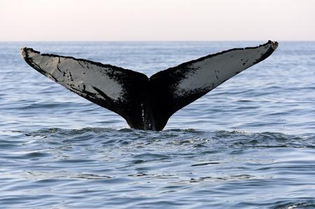 ballena: Ballena jorobada (Megaptera novaeangliae) en la Bahía de Fundy en Nueva Escocia de Canadá Foto de archivo