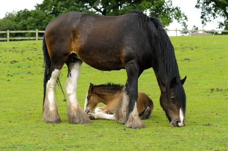 clydesdale: Shire Horse and Foal in field in Peak District National Park Derbyshire England