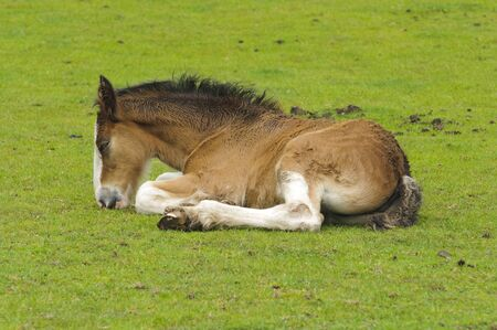 clydesdale: Shire Horse Foal in field in Peak District National Park Derbyshire England
