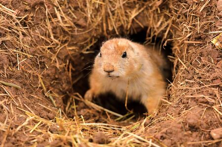 Closeup of a Black-tailed Prairie Dog  Cynomys ludovicianus  peeping out of burrow  photo