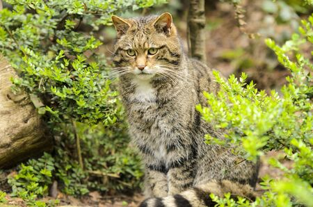 Scottish Wildcat  Felis silvestris photo