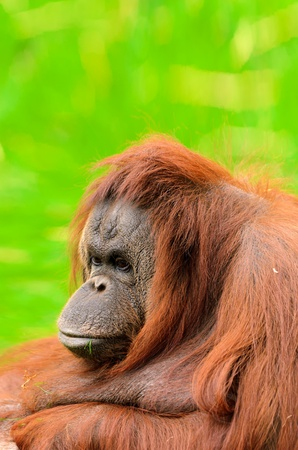 pongo: Orangutan  Pongo pygmaeus   Native to Indonesia and Malaysia, orangutans are currently found only in the rainforests of Borneo and Sumatra