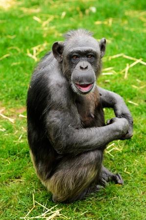 troglodytes: Close up of a Chimpanzee  pan troglodytes   Stock Photo
