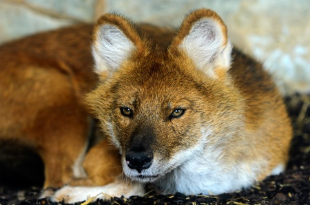 cuon: Close up of a young Dhole or Indian Wild Dog  Cuon alpinus  looking at the viewer