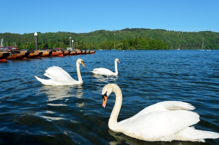 View of swans in Lake Windermere at Bowness Lake District National Park Cumbria England Stock Photo - 14546323