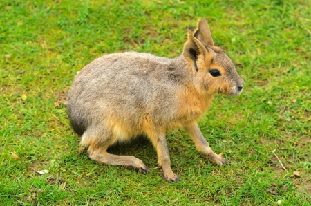 patagonian: Patagonian Hare  Dolichotis patagonum   These large relatives of guinea pigs are common in the Patagonian steppes of Argentina but live in other areas of South America as well such as Paraguay