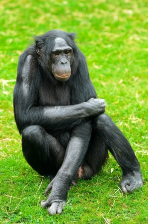 pan paniscus: Close up of a Bonobo or Pygmy Chimpanzee  Pan paniscus  Stock Photo