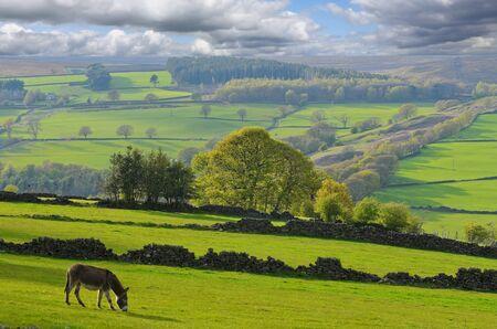derbyshire: Baby Donkey in Bradfield Dale Peak District National Park Derbyshire England
