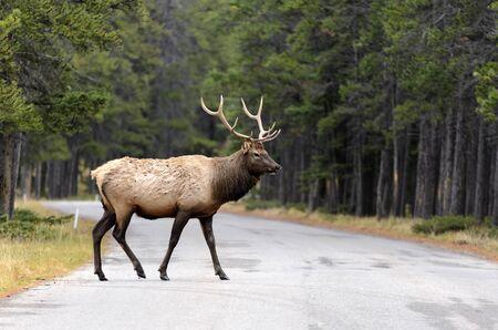 wapiti: Male Elk or Wapiti  Cervus canadensis  crossing road in Banff National Park Alberta Canada
