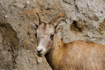 rocky mountain bighorn sheep: Rocky mountain bighorn sheep  Ovis canadensis  in Banff National Park Alberta Canada