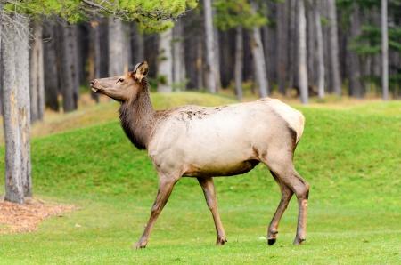 wapiti: Female Elk or Wapiti  Cervus canadensis  near Cascade Pond in Banff National Park Alberta Canada Stock Photo