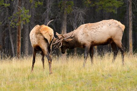 wapiti: Male Elk or Wapiti  Cervus canadensis  rutting in Banff National Park Alberta Canada