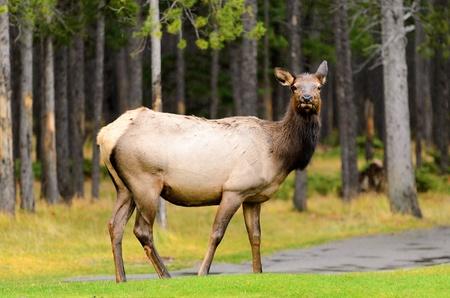 wapiti: Female Elk or Wapiti  Cervus canadensis  near Banff golf course in Banff National Park Alberta Canada