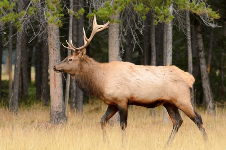 wapiti: Male Elk or Wapiti  Cervus canadensis  near Cascade Pond in Banff National Park Alberta Canada Stock Photo