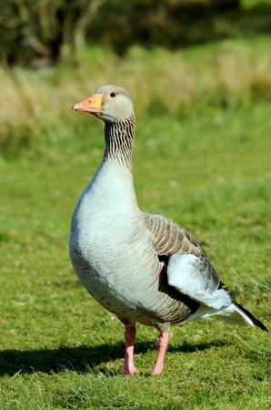 greylag: Close up of a Greylag Goose  Anser anser  looking at the viewer at Tarn Hows in Lake District National Park