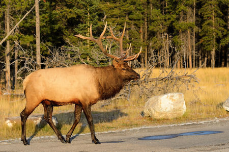 wapiti: Male Elk or Wapiti (Cervus canadensis) crossing road in Banff National Park Alberta Canada