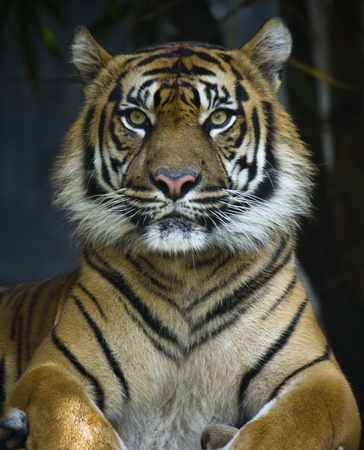 sumatran: Proud Sumatran TIger