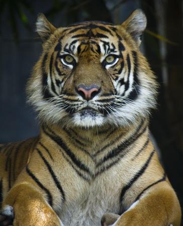 sumatran tiger: Proud tigre di Sumatra