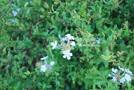 thorn bush: White Flower In Green Thorn Bush Stock Photo