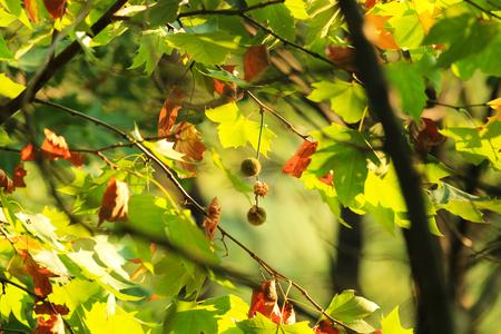 autumn sycamore tree Stock Photo