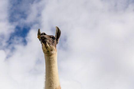 Peruvian Lamma low shot