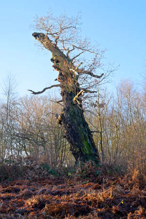 An ancient, partially decayed Sherwood Forest oak tree leaning forward under a winter sun