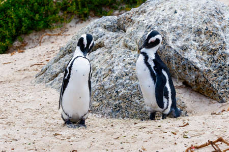Close up of a pair of South African penguins, with heads bowed, standing on Boulders beach
