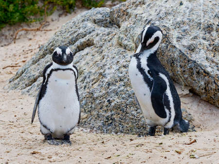 Close up of a pair of South African penguins, one staring at camera the other preening.