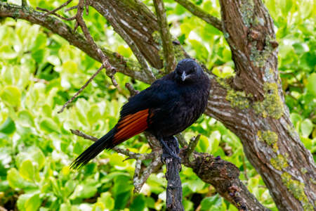 Close up of a South African Red Winged Starling perched in a tree looking to the camera. 스톡 콘텐츠