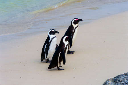 A group of three endangered Cape Penguins walking up Boulders Beach, Simons Town, South Africa