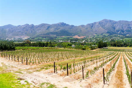 Neat and tidy rows of young grapevines in the warm South African sun near Franschhoek