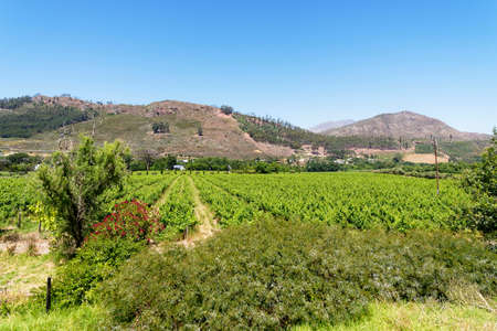 A small vineyard near the town of Franschhoek, under a blue South African sky Archivio Fotografico
