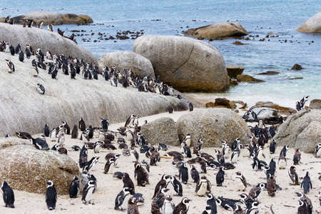 A colony of endangered Cape Penguins on Boulders Beach, Simons Town, South Africa