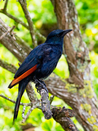Side view of a South African Red Winged Starling perched in a tree Archivio Fotografico