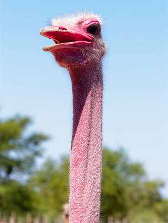 Close up of the long neck and head of an ostrich in the South African sun. Archivio Fotografico