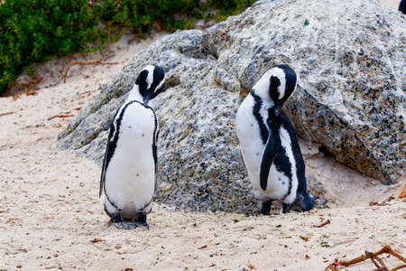 Close up of a pair of South African penguins preening on Boulders beach, near Simons Town, South Africa