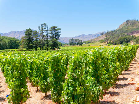 Neat rows of grapevines grow under a blue South African sky near the town of Franschhoek